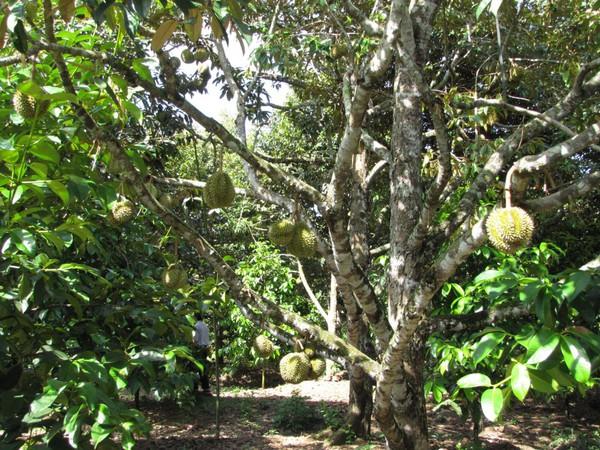 Điểm danh 4 vựa trái cây lớn nhất Nam Bộ 7