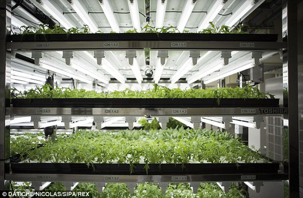 Độc đáo vườn rau sạch không ánh sáng mặt trời, không đất ở Nhật Bản 5