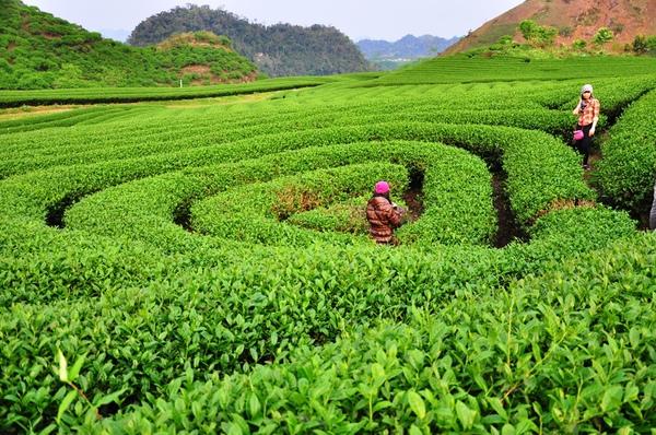 Chạy xe ngắm cảnh Mộc Châu mùa hoa cải 9