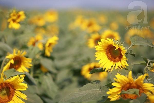 Về Nghệ An ngắm cánh đồng hoa hướng dương khoe sắc 5