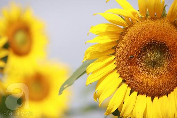 Về Nghệ An ngắm cánh đồng hoa hướng dương khoe sắc 6