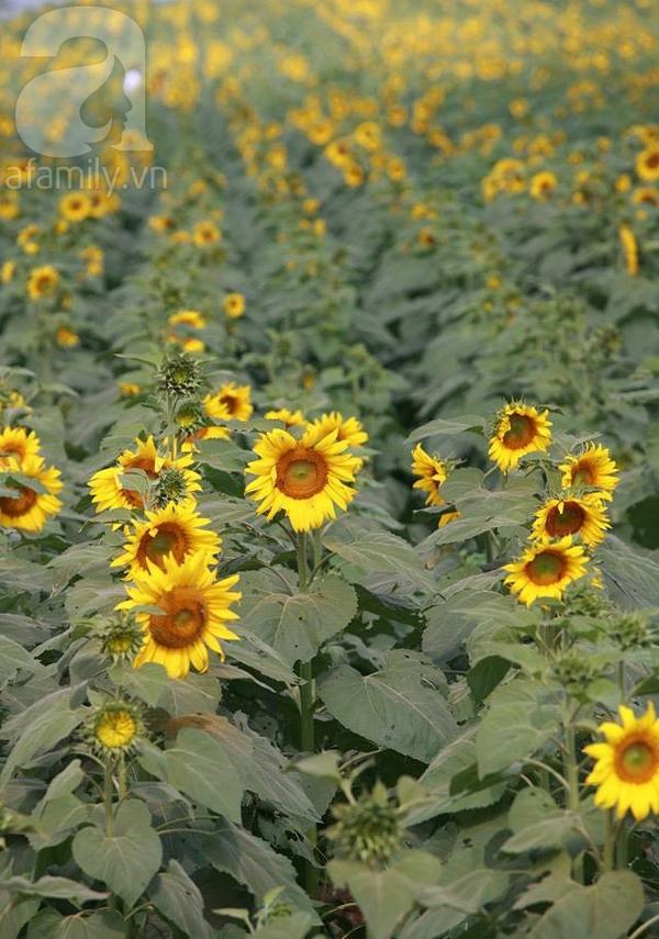 Về Nghệ An ngắm cánh đồng hoa hướng dương khoe sắc 2