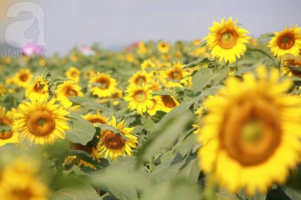 Về Nghệ An ngắm cánh đồng hoa hướng dương khoe sắc 4