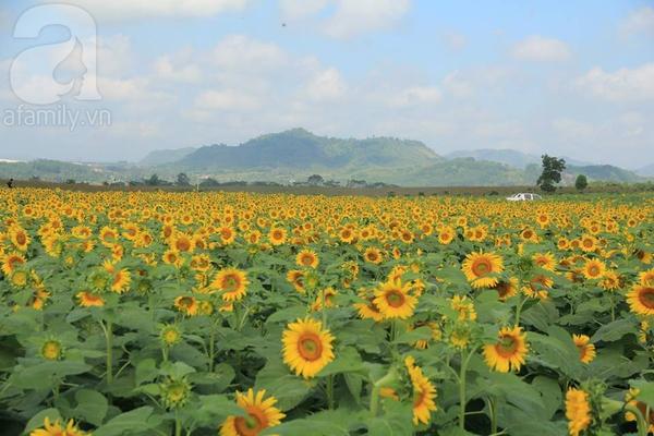 Về Nghệ An ngắm cánh đồng hoa hướng dương khoe sắc 1
