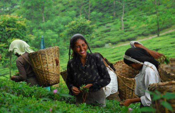 """3 loại trà nổi tiếng về cả độ ngon lẫn mức giá """"khủng"""" 4"""
