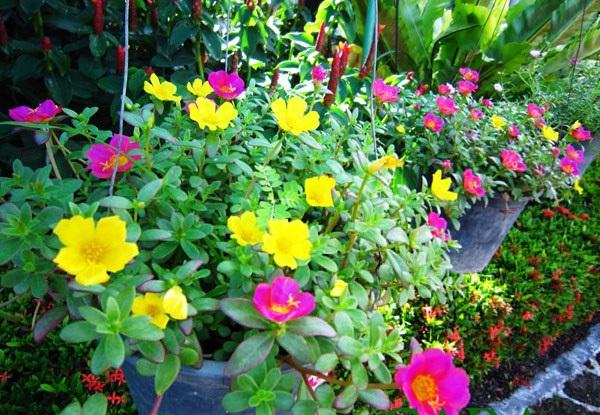 Những loài hoa thích hợp trồng trong giỏ treo 8