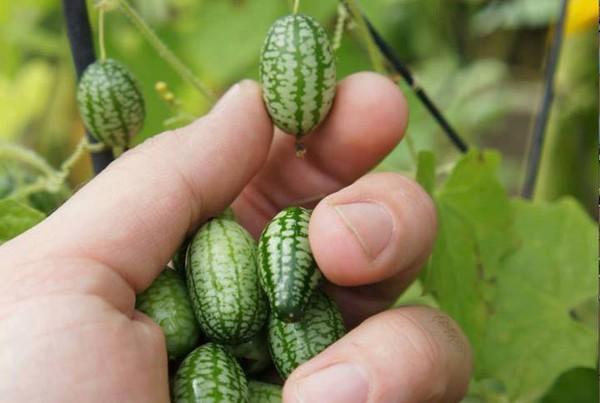 Cách trồng dưa hấu mini - trong dua hau ti hon loai cay lam me man cac ba noi tro