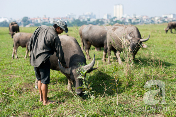 Ngỡ ngàng cảnh đàn trâu trăm con nhẩn nha gặm cỏ giữa Thủ đô 13