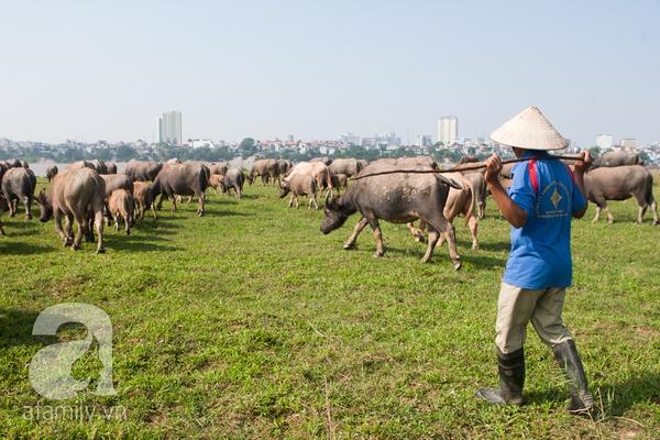Ngỡ ngàng cảnh đàn trâu trăm con nhẩn nha gặm cỏ giữa Thủ đô 17