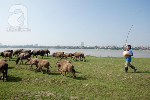 Ngỡ ngàng cảnh đàn trâu trăm con nhẩn nha gặm cỏ giữa Thủ đô 19
