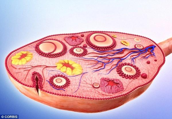 Mối liên hệ giữa số lượng trứng và bệnh tim ở phụ nữ 1