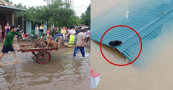 Hàng trăm con vật được cứu khỏi vùng ngập khiến nhiều người cảm động, dân mạng cấp bách lan truyền hình ảnh chú chó nằm trên