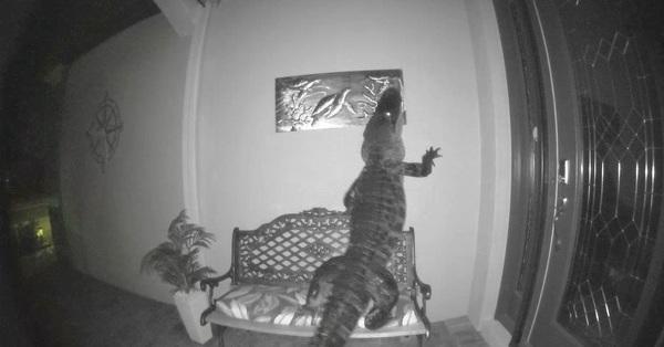 Cá sấu bò vào nhà dân tìm được chú rùa tưởng có bữa ăn ngon lành trước khi phát hiện con mồi là
