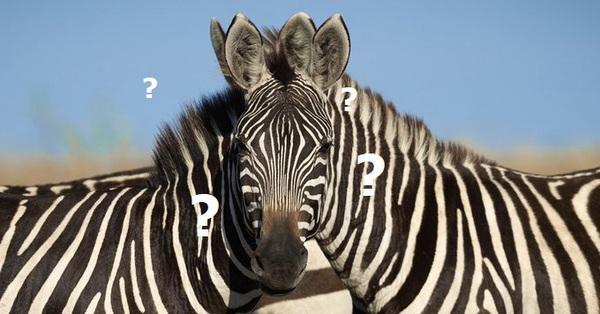 Con ngựa vằn nào đứng trước? Bức ảnh gây lú khiến dân mạng tranh cãi kịch liệt