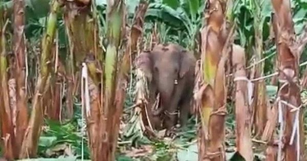Đàn voi rừng quậy phá khu dân cư Đồng Nai bất chấp hàng rào điện