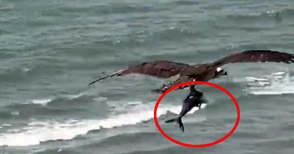 Chim ưng khổng lồ quắp cá mập lên không trong sự ngỡ ngàng của dân tình