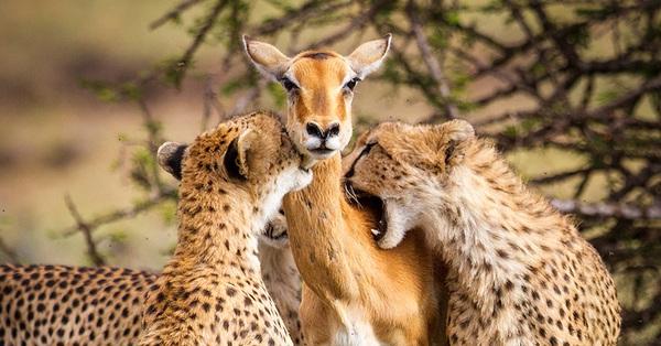 Linh dương mẹ hy sinh để bảo vệ con trước đàn báo, đến phút cuối vẫn hướng mắt về con, sự thật câu chuyện cảm động viral MXH là gì?