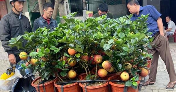 Cận Tết, xuất hiện cây táo giả hệt táo thật giá 200-300 ngàn/cây vẫn được nhiều người qua đường mua về chơi Tết vì lạ mắt
