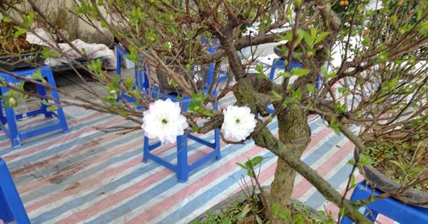 Cận Tết, mai trắng vườn nhà xuống phố, giá 800 ngàn đồng/cây, tiểu thương ngày bán cả lô 40-70 cây