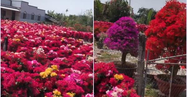 Làng hoa giấy đỏ rực rỡ như pháo Tết ở một tỉnh miền Tây, trải dài hàng cây số khiến ai cũng kinh ngạc