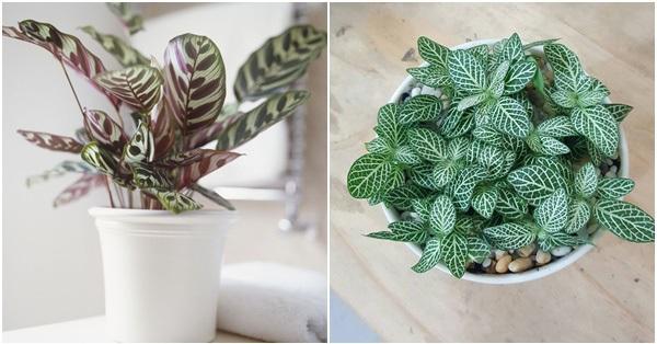 Hai cây cảnh mini để bàn vừa dễ trồng vừa hợp phong thủy đang