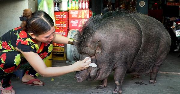 Chú heo rừng nặng 200kg được nuôi làm thú cưng ở Sài Gòn bất ngờ lên báo nước ngoài, cư dân mạng quốc tế liền bày tỏ sự ngạc nhiên tột độ