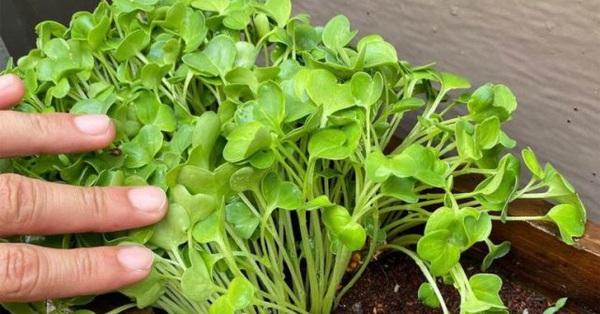 Mua combo 2 gói hạt giống củ cải tại cửa hàng Daiso ở Nhật với giá 21k, tôi thử trồng tại nhà và bất ngờ với kết quả nhận được