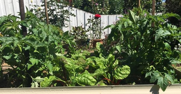Khu vườn đủ loại trái ngọt của ba chị em yêu thích làm vườn