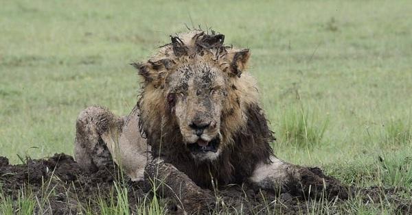 Sư tử chăm chỉ đào đất suốt 7 tiếng để săn mồi, chấp nhận mất hình tượng