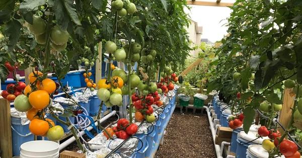 Choáng ngợp trước khu vườn phủ xanh rau quả sạch của tổng giám đốc Việt ở Mỹ