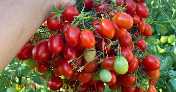 Khu vườn 800m² phủ kín đủ loại rau quả sạch của mẹ Việt