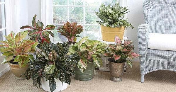 3 loại cây cảnh phong thủy rất thích hợp để bạn trồng trong phòng khách
