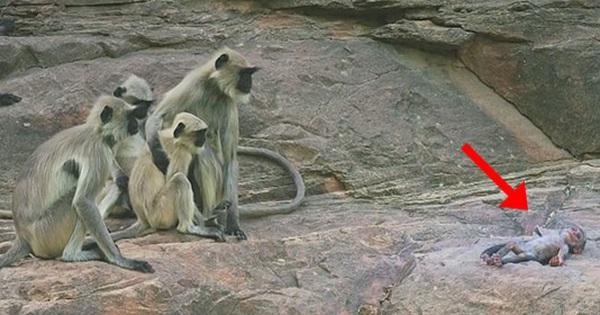 Đàn khỉ đau buồn nhìn về phía đồng loại