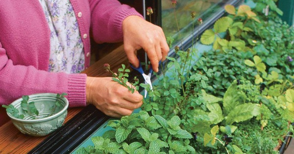 Cách trồng 5 loại cây gia vị trong bếp, ăn thoải mái, hết lại tự lên