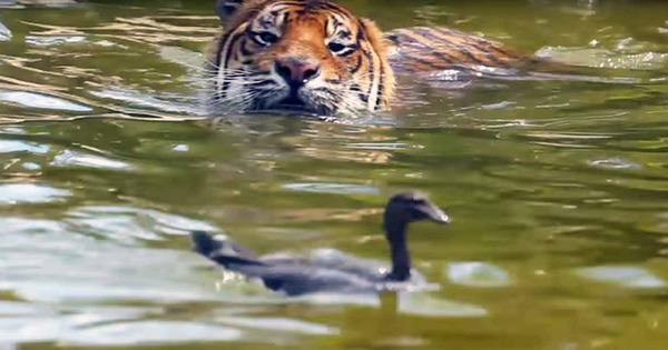 Vịt rơi vào chuồng hổ xác định không toàn mạng trở về, ai ngờ chỉ 10 phút sau con vật trăm kg hóa đờ đẫn đến đáng thương