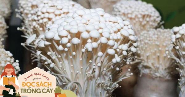Mọi người trồng nấm kim châm thì mọc vùn vụt, 2 tuần là ăn