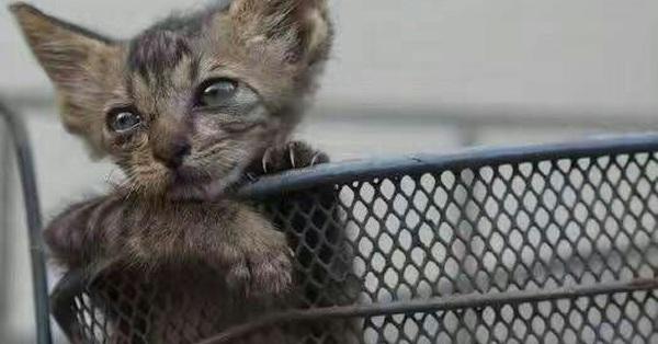 6 ngày hấp hối của chú mèo bị bệnh thiếu máu và hành trình cứu sống sinh linh bé nhỏ của những người yêu động vật