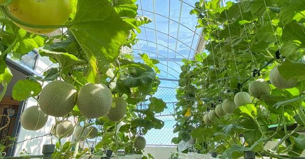 Giãn cách vẫn đủ rau quả thưởng thức nhờ vườn cây xanh um trên sân thượng ở Đà Nẵng