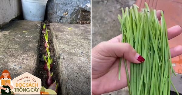 Cô gái Bình Phước tận dụng chút đất tưởng bỏ đi để trồng hành, thành quả là có hành tươi ăn sau 7 ngày trồng trọt