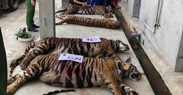 Vụ phát hiện 17 con hổ trong khu dân cư: Nhiều con nặng gần 300kg, nữ chủ nhà xây hầm rộng 120m2 để nuôi nhốt