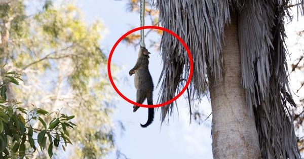 Vô tình thấy chồn bị treo lủng lẳng trên cây trước nhà, người đàn ông nhìn kỹ mới tá hỏa nhận ra tình huống nguy hiểm