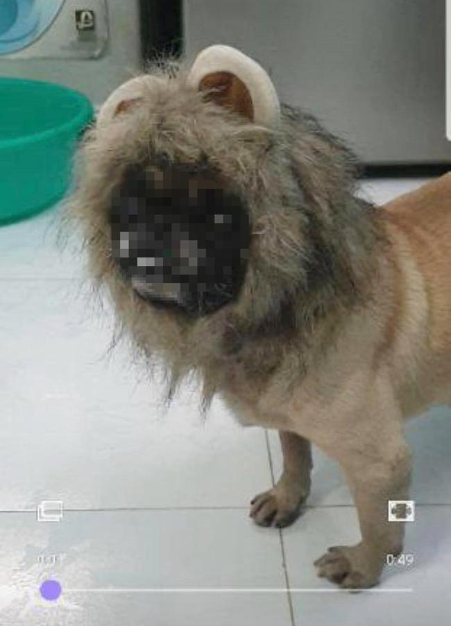 """Bỏ 69k đặt mua """"bờm sư tử dũng mãnh"""" cho pet, khách hoảng hồn khi nhận sản phẩm về tay như đạo cụ phim kinh dị - Ảnh 3."""