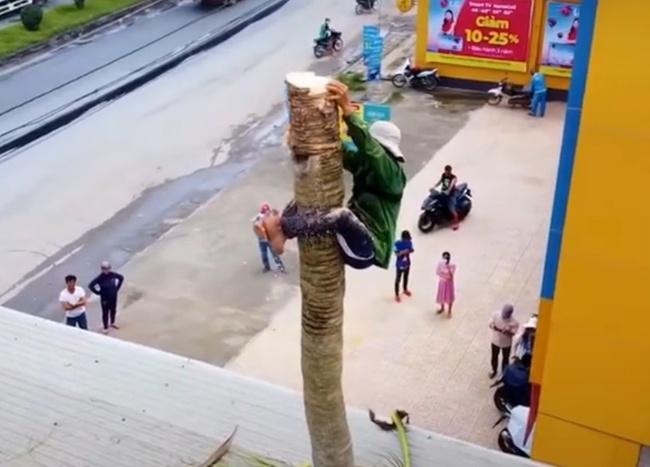 Thót tim xem cảnh người đàn ông ở miền Tây một thân một mình không đồ bảo hộ leo và cưa đổ cây dừa cao hàng chục mét  - Ảnh 2.