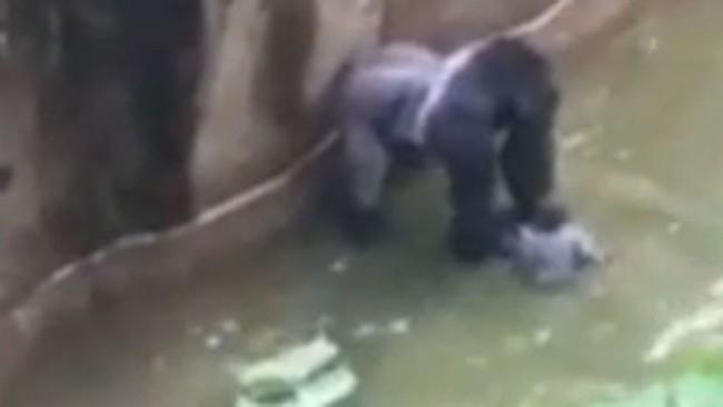 Bé trai 3 tuổi rơi vào chuồng khỉ đột và hành động của con vật khiến thế giới ngỡ ngàng, 20 năm sau chuyện tương tự xảy ra song kết cục ngược lại hoàn toàn - Ảnh 4.