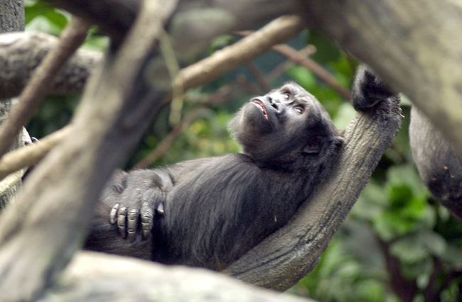 Bé trai 3 tuổi rơi vào chuồng khỉ đột và hành động của con vật khiến thế giới ngỡ ngàng, 20 năm sau chuyện tương tự xảy ra song kết cục ngược lại hoàn toàn - Ảnh 3.