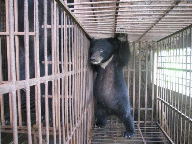 """Những màn tra tấn tàn ác từ ngành công nghiệp nuôi gấu lấy mật và sự thật """"lạnh người"""" khiến con người có thể phải trả giá đắt - Ảnh 1."""