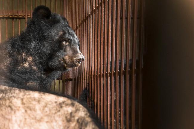 """Những màn tra tấn tàn ác từ ngành công nghiệp nuôi gấu lấy mật và sự thật """"lạnh người"""" khiến con người có thể phải trả giá đắt - Ảnh 2."""