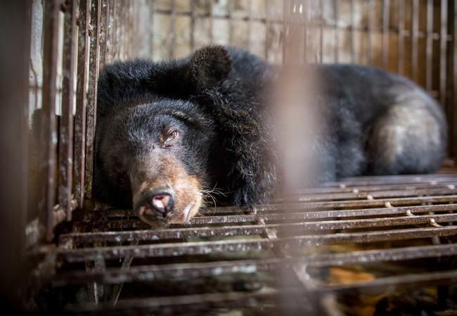 """Những màn tra tấn tàn ác từ ngành công nghiệp nuôi gấu lấy mật và sự thật """"lạnh người"""" khiến con người có thể phải trả giá đắt - Ảnh 7."""