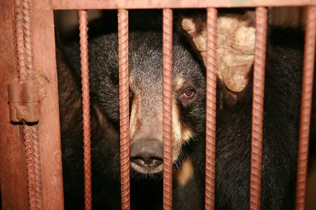 """Những màn tra tấn tàn ác từ ngành công nghiệp nuôi gấu lấy mật và sự thật """"lạnh người"""" khiến con người có thể phải trả giá đắt - Ảnh 6."""