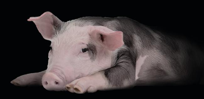 8 lý do khẳng định lợn là loài vật siêu hay tuyệt vời chứ nào có bẩn thỉu dốt nát - Ảnh 6.